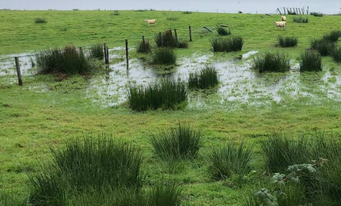 During the long, dry summer, mud snails will have concentrated in boggy areas - so grazing livestock may still have picked up liver fluke and need treating now. Picture credit: Moredun.