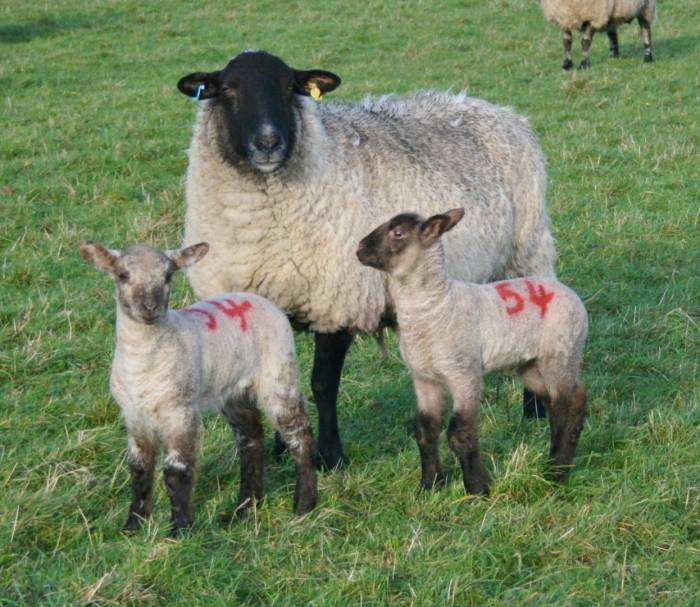 SCOPS is advising producers against routinely worming all ewes at lambing time.
