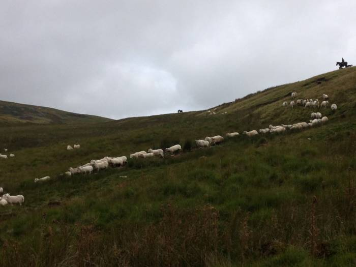 ... as do sheep returning from common land or from grazing areas away from home.