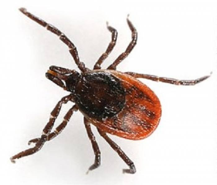 An adult female tick.