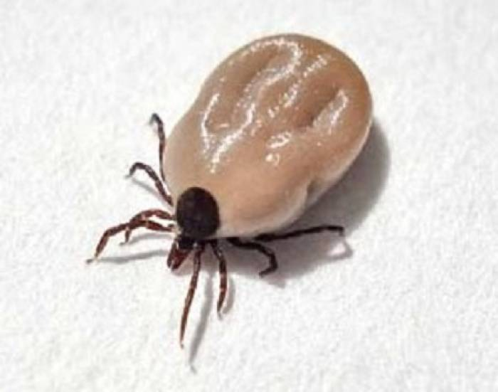 An adult female tick, full of blood.