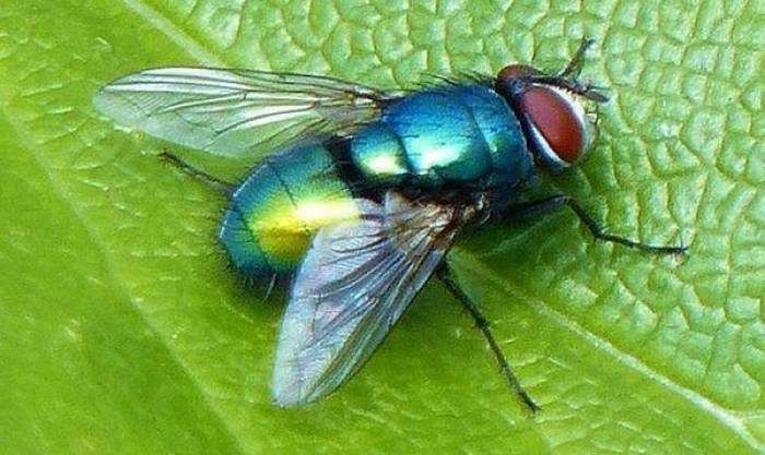 The greenbottle fly is the most common cause of blowfly strike in the UK.