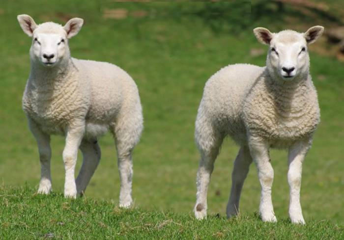 Worms can reduce growth rates in lambs by 50% without any clinical signs.