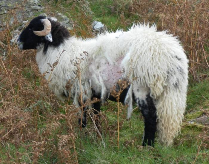 Does this sheep have scab or lice? It is impossible to tell without a proper diagnosis.