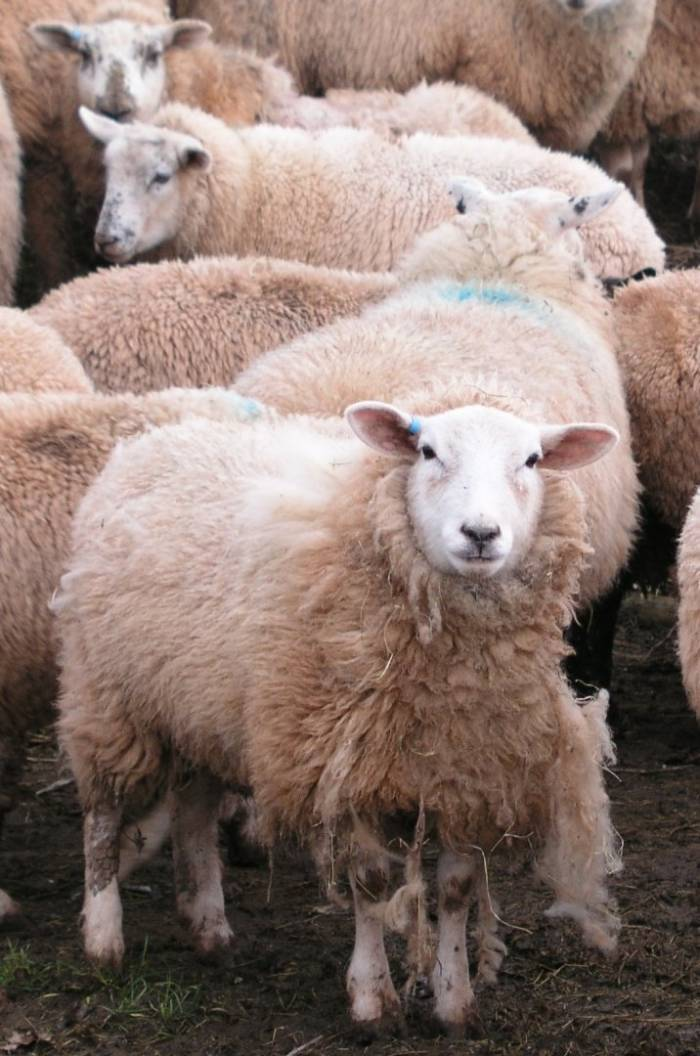 If you have treated sheep for scab and they are still showing signs of infection, it is important to report this to your vet or advisor.